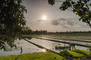 Rice field evening