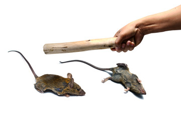 a man using a timber and point it to  two dead rat on white background isolated