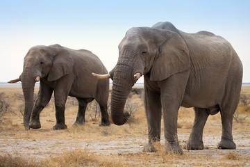 The reclusive old African elephants Loxodonta africana bush in the Etosha National Park, Namibia
