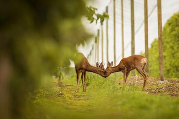 Wall Mural - Deer kissing