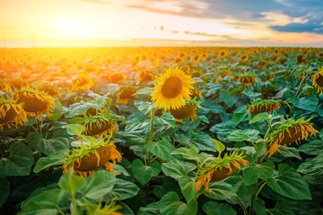 A plantation of beautiful yellow-green sunflowers after sunset at twilight against a beautiful light sky with fluffy clouds