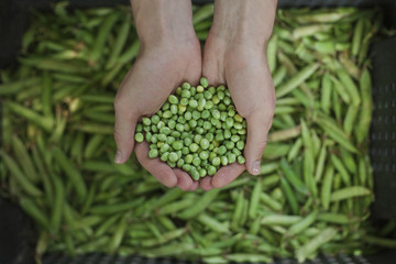 Hands holding green peas