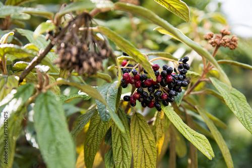 Schneeball Beeren Strauch Im Garten Stockfotos Und Lizenzfreie