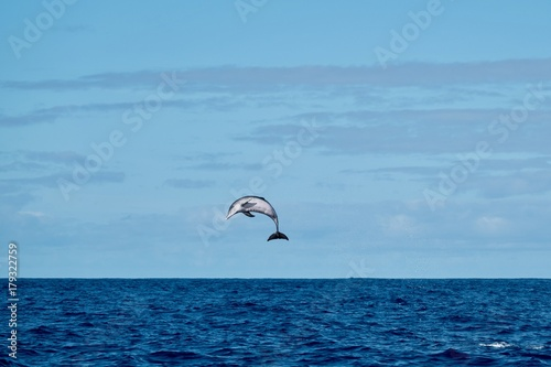Spotted dolphin jumping high in the air