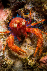 Olivar's squat lobster, a bug-eyed crab in Anilao, Philippines