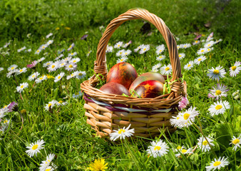 Easter wicker basket with eggs on field of daisies in a sunny spring day.