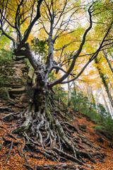 Old beech tree in autumn.