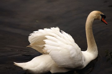 Tuinposter Zwaan swan