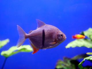 Exotic fish underwater in Turkey.