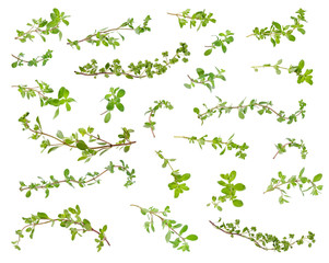Fresh green marjoram leaves and twigs at different angles on white background