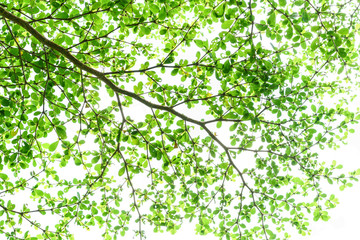 Tree branch with green leaves isolated on white background