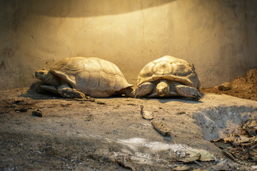 Image of Sulcata tortoise Turtle or African spurred tortoise (Geochelone sulcata) on the floor. reptile. Animals.
