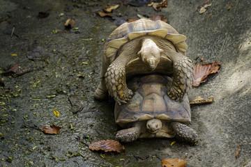 Image of Sulcata tortoise Turtle or African spurred tortoise (Geochelone sulcata) are breeding. reptile. Animals.