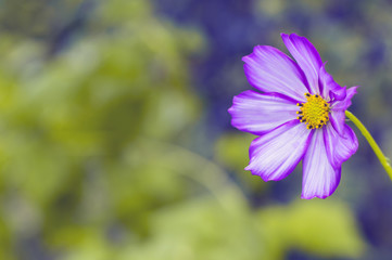 A lonely purple flower on a blurred background. Selective focus