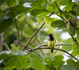 Yellow-bellied sunbird on the tree while it rains.
