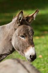 Kopf von einem Esel