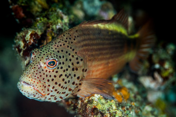 Freckled Hawkfish standing on coral reef