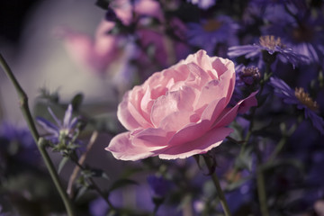 a beautiful pink rose flower in the garden