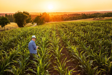 A farmer in his cornfield using a digital tablet at sunset