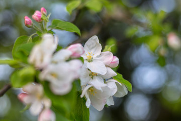 sunset in the field, apple blossom