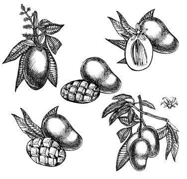 Set of Mango tree vintage design template. Botanical mango fruit. Engraved mango. Graphic illustration.