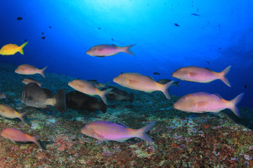 Fish school in ocean. Snapper fish on coral reef