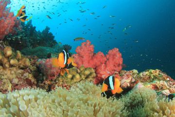 Anemones on coral reef. Clownfish anemonefish tropical fish