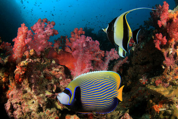 Emperor Angelfish and Moorish Idol fish on coral reef underwater