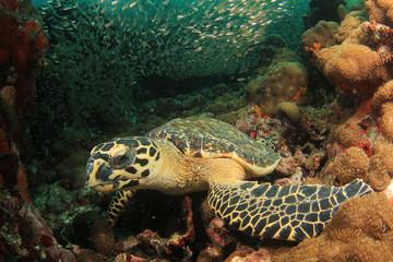 Sea Turtle underwater on coral reef