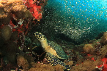 Sea Turtle underwater on coral reef