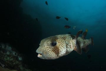 Porcupinefish. Porcupine puffer fish