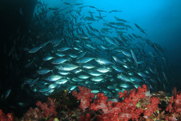 School of Trevally fish on coral reef