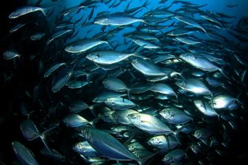 Tuna fish underwater in ocean