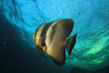 Longfin Spadefish. Fish batfish on underwater coral reef