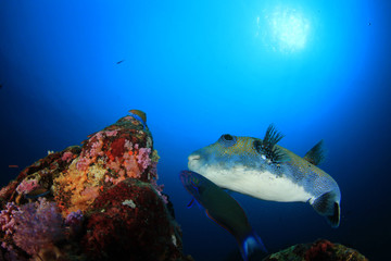 Pufferfish. Blue-spotted Puffer fish
