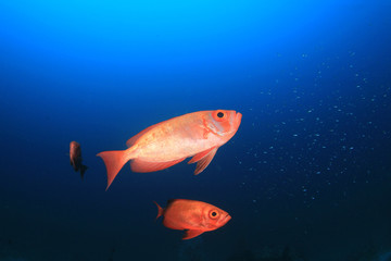 Red fish blue background. Crescent tailed Bigeye fish. Red Snapper in ocean