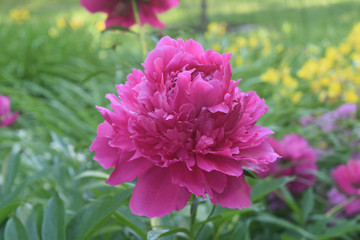 Beautiful Pink Peony Blooming in the Spring