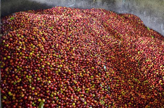 Coffee beans. Harvest