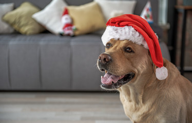 Cheerful labrador wearing christmas hat