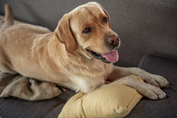 Outgoing animal companion resting on couch