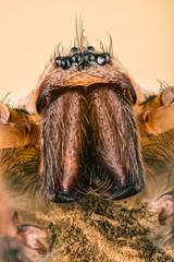 Focus Stacking - Giant House Spider, House Spider, Eratigena atrica