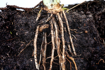 roots of parsley under the soil
