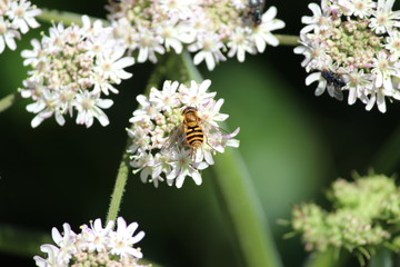 A bee on Hedge Garlic flower around river the Rotte in Zevenhuizen