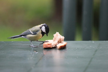 Big titmouse is eating from a slice of bread on garden table