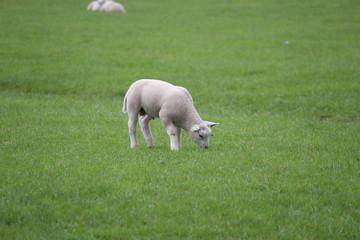 Lamb on a meadow in Moerkapelle