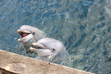two dolphins smiling to people