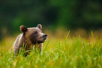 Orso grizzly della costa che pesca salmoni in Canada o Alaska
