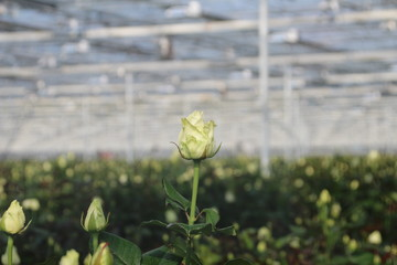 White rose in close up in greenhouse nursery