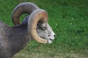 Canadian Ram