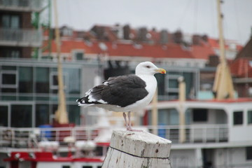 Seagull on a mooring pole in the harbor of Scheveningen, the Netherlands